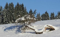 The gnarly old appletree (:Linda:) Tags: shadow snow tree germany village thuringia spruce appletree conifer bürden