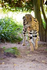 serval (Cloudtail) Tags: animal cat mammal zoo feline krefeld katze serval tier sugetier leptailurus