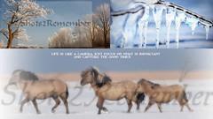 Each season has its own charms / elk jaargetijde heeft zijn eigen charmes (ShotsOfMarion) Tags: winter horses snow nature nikon flickr sneeuw natuur wintertime wit almere paarden oostvaardersplassen konikpaarden shotsofmarion shots2remember almereinbeeld konickpaarden