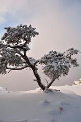 (henryub) Tags: winter snow tree fog arbol nieve grand canyon gran invierno caon bruma