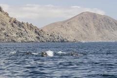 Encuentro con Delfines (BernardoAmstica) Tags: chile mar dolphin dolphins atacama isla delfines pandeazucar parquenacional chaaral