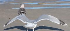 Gaivota prateada (Larus argentatus)-11 (Luis.Mota) Tags: gull gaivota larus argentatus prateada