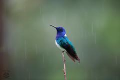Happy Hummingbird (Megan Lorenz) Tags: travel wild male bird nature rain rainforest costarica hummingbird wildlife february raining 2015 whiteneckedjacobin mlorenz meganlorenz