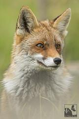 Contemplative... (Les Frres des Bois) Tags: roux vulpesvulpes goupil renarde renardroux