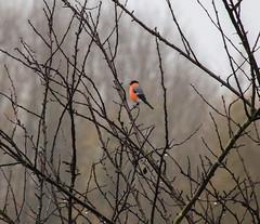 aIMG_5053 (justfordream) Tags: bird animal drops branches ste bullfinch tier vogel tropfen dompfaff neanderland