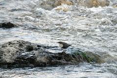 Merlo Acquaiolo (Claudio Ghizzo) Tags: birds nikon centro uccelli 500mm acqua zentrum d90 santagiustina 32035 veses merloacquaiolo