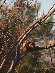 P1233650 Squirrel 20140123 (caligula1995) Tags: squirrel plumtree 2014