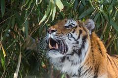 Amur Tiger (Jemlnlx) Tags: new york city nyc portrait cats 3 ny animals cat canon eos zoo is big mark bronx tiger iii 300mm l 5d usm siberian ef f4 amur