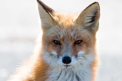 Hey Good Lookin (carlson322) Tags: red nature animals mammal newjersey fox jerseyshore redfox islandbeachstatepark