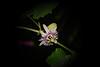 Passiflora morifolia (betadecay2000) Tags: brazil southamerica brasil ecuador venezuela laub bolivia brasilien lila passiflora grün amerika passionflower bolivien passionsblume violett argentinia weis passiebloem kletterpflanze argentinien شوق südamerika actinia çarkıfelek ranke トケイソウ krunica brasilie morifolia passifloramorifolia blütte пасифлора lulesahati пассифлора 西番莲 passiflory gospodinova