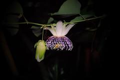 Passiflora actinia (betadecay2000) Tags: brazil brasil laub brasilien lila passiflora grn amerika passionflower passionsblume violett weis passiebloem kletterpflanze  sdamerika actinia arkfelek ranke  krunica brasilie passifloraactinia bltte  lulesahati   passiflory gospodinova