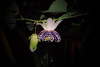 Passiflora actinia (betadecay2000) Tags: brazil brasil laub brasilien lila passiflora grün amerika passionflower passionsblume violett weis passiebloem kletterpflanze شوق südamerika actinia çarkıfelek ranke トケイソウ krunica brasilie passifloraactinia blütte пасифлора lulesahati пассифлора 西番莲 passiflory gospodinova