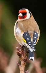 Photo of Goldfinch (Carduelis carduelis), garden, Nuneaton, Warwickshire.