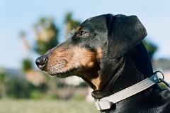 Teckel (MLuci Pets) Tags: park parque portrait dog brown black color colour verde green film dogs look 50mm nikon quiet retrato horizon negro tranquility iso perro 100 mm 50 mirada fm marron portra solution teckel horizonte benito beni tranquilo tranquilidad