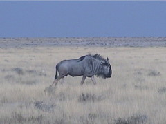 Blue Wildebeest on the Savannah