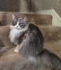 Sweet Elegance (gtncats) Tags: pet cat sweet royal kitty elegant siberian russian loved photographyforrecreation canong16 canonpowershotg16 infinitexposure