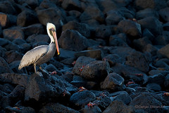 Pelicano pardo. Brown pelican (Pelecanus occidentals). (Sergio Bitran M) Tags: bird ecuador pelican galapagos ave brownpelican 2014 pelicano pelecanidae pelecaniformes pelicanopardo pelecanusoccidentals