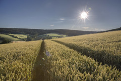 Green Wheat  29/52 (rmrayner) Tags: sun sunshine landscape wheat farming cereal devon crop sunburst agriculture hdr ripening sunflare hss 2952 greenwheat 52weeksthe2016edition