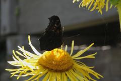 Tagpfauenauge bei ca. 35 C (borntobewild1946) Tags: linnburglinn nrw niederrhein nordrheinwestfalen rheinland copyrightbyberndloosborntobewild1946 falter tagpfauenauge pfauenauge blten blossoms nektarsammeln trinken schlrfen saugen saugrssel schmetterling butterfly