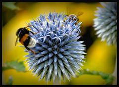 hier wird zusammen gearbeitet !!! (karin_b1966) Tags: blume flower blte blossom pflanze plant insekt insect garden natur nature kugeldistel ballthistel hummel bumblebee biene bee yourbestoftoday