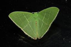 Urolitha bipunctifera (Victor W. Fazio III) Tags: moth australia lepidoptera geometridae newsouthwales tinonee manningvalley urolithabipunctifera