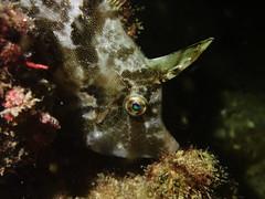 Fan-bellied Leatherjacket Jul2016-03 (Gomen S) Tags: ocean china sea summer hk fish macro nature animal night hongkong marine asia underwater wildlife sandy diving torch tropical 2016 tg3 olymups pt056