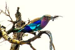 Coracias caudatus; Lilac-breasted Roller; Gewone troupant; (My Pixelated life) Tags: coraciascaudatus krugerpark lilacbreastedroller r447 bird gewonetroupant