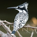 Pied Kingfisher Side Profile