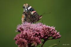 IMG_002264_k - Atalanta - Vanessa atalanta (Monique van Gompel) Tags: butterfly aurelia atalanta vlinder vanessaatalanta dagvlinder
