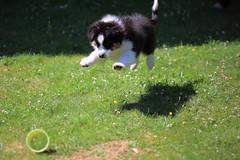 IMG_6107 (Xavier_Claise) Tags: dog chien australian merlin australien chiot shepard berger