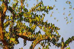 IMG_0285.jpg (Paul Williams www.IronAmmonitePhotography.com) Tags: bird budgerigar summer murmuration dryseason melopsittacusundulatus australia