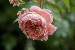 Vom Hagel mitgenommene Rosenblte - Rose after passing through a hailstorm (riesebusch) Tags: berlin garten marzahn