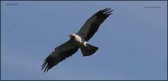 IMG_0805-cropspotted eagle (ryancarter2012) Tags: bird eagle spotted menorca