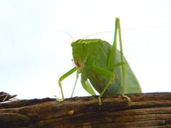 Katydid 2 (Photo Squirrel) Tags: katydid insect bug green closeup