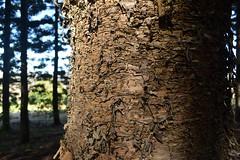 Hoop Pine (dustaway) Tags: australia bark plantation nsw trunks 1985 conifers lismore araucariaceae northernrivers hooppine araucariacunninghamii australiantrees australianrainforesttrees