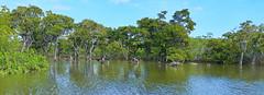 Bruguiera gymnorhiza (Ben Caledonia) Tags: nouvellecaldonie newcaledonia mangrove paltuvier