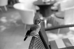 Hello there (kostak89) Tags: ilfordfp4125 canonae1 canonfd50mm18sc bird expiredfilm analog slr filmphotography dof manualfocus naturallight blackandwhitetones bw