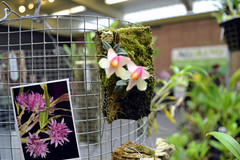 2016-07-23 08782 Orchid Show, SF County Fair Bldg (Dennis Brumm) Tags: sanfrancisco california july 2016 orchids exposition flowers plants bromeliads