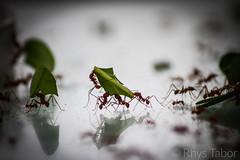 Teamwork (rhystabor) Tags: teamwork ants zoo motivation hanging working nature natural depth field focus blur canon eos 650d 200mm marwell wildlife