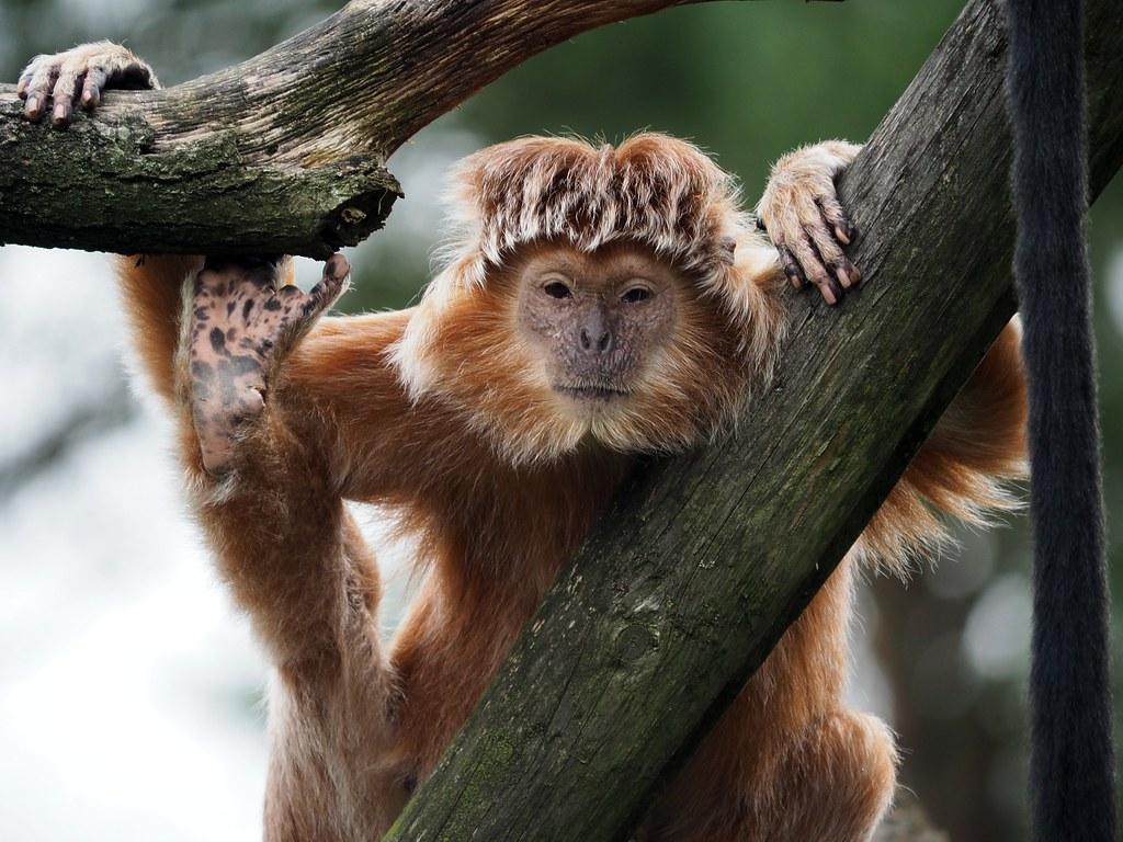 Verführerisch Haustier Affe Sammlung Von Javan Lutung ( ) (reschroe) Tags: Ape