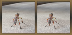 Sorry, No Flies Served Here ! - Crosseye 3D (DarkOnus) Tags: diogmites misellus hangingthieves robber fly pennsylvania buckscounty huawei mate8 cell phone 3d stereogram stereography stereo darkonus closeup macro insect day friday flydayfriday hfdf fdf beautifulbugbuttthursday butt thursday bug beautiful hbbbt bbbt crossview crosseye