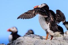 DSC_0442.jpg (oscarmalo681) Tags: islasfairn alcas cormoranes focas frailecillos gaviotas verano2016