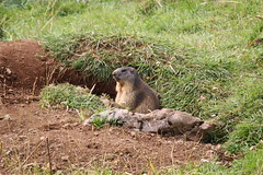 Marmotta (Ferruccio.m) Tags: marmotta marmot murmeltier