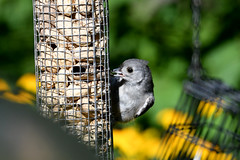 Tufted Titmouse (East Norriton) (stinkenroboter) Tags: eastnorriton tuftedtitmouse baeolophusbicolor bird birdfeeder