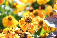 Helenium (Julecu) Tags: echinacia august summer kewgardens kew nature healingplant naturalhealing golden flower