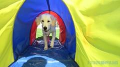 Här ska jag nog ta en liten paus! (J Tube-Films) Tags: scooby söt gullig valp valpar hund hundvalp golden retriever leker busar agility dog cute puppy