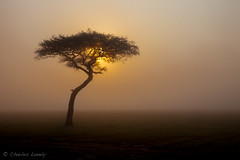 The Mara (charles lovely) Tags: africa charleslovely kenya safari flora travel nature gamedrive fog acacia maasaimaranationalreserve sunrise