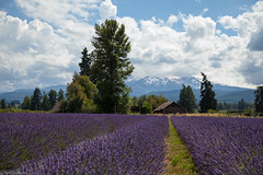 Lavender Fields (life is good (pete)) Tags: canon5dmkii 24105mmf4 vacation2016 oregon mthood lavender