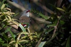 ThrusieMaursethCahill_160820-2 (maurseth-cahill) Tags: tarongazoo birds diamondfiretailfinch finch red smallbird white wildlife feathers