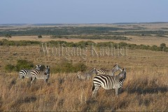 10078028 (wolfgangkaehler) Tags: 2016africa african eastafrica eastafrican kenya kenyan masaimara masaimarakenya masaimaranationalreserve wildlife zebras plainszebrasequusquagga burchellszebra burchellszebraequusquagga burchellszebras grassland grasslands